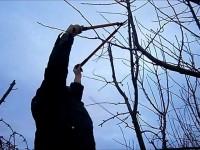 Recomandari privind taierile la pomi fructiferi